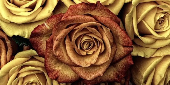 roses-66527_640
